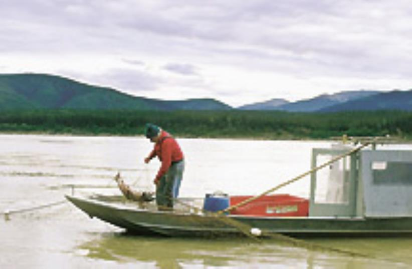 A fisherman pulls in a salmon on the Yukon River.  (photo credit: AP)