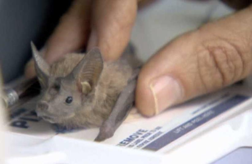 Israeli research on bats alters concept of mammal hibernation. (photo credit: screenshot)