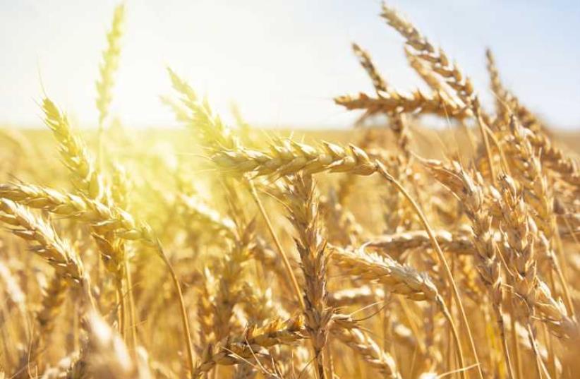 Grain field (photo credit: INGIMAGE)