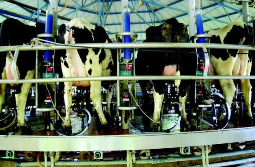 Vaches laitières à Yotvata (photo credit: Nicole Perez)