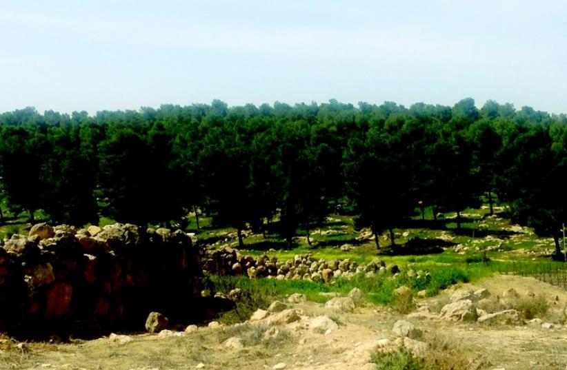 La forêt de Yatir (photo credit: MEITAL SHARABI)