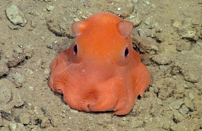 The flapjack octopus  (photo credit: HANDOUT / MBARI / AFP)