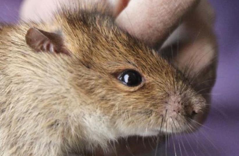 A rat  (photo credit: REUTERS)