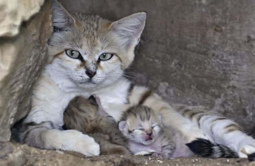 Rotem the sand cat with her babies (photo credit: TIBOR YAGER)