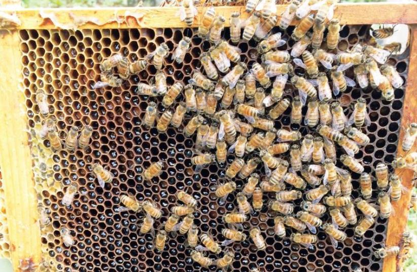 Bees in their natural habitat (photo credit: DVORAT HATAVOR)