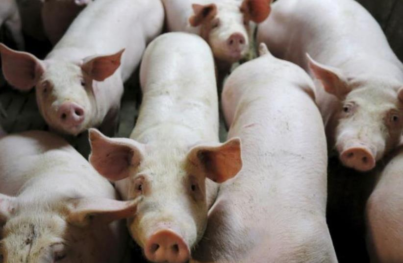 Pigs. (photo credit: REUTERS)