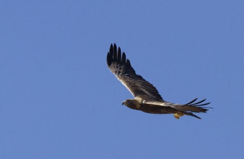 Golden eagle. (photo credit: YOAV PERLMAN)