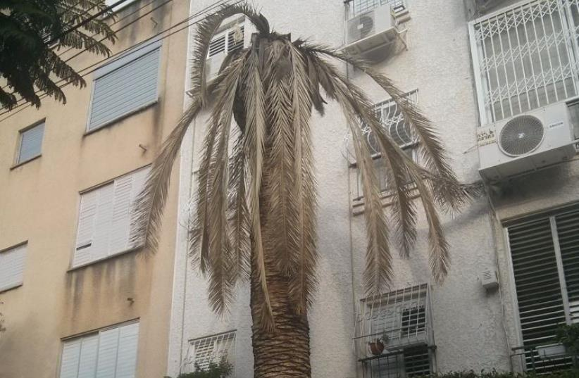 A tree infested by the invasive red palm weevil, a type of beetle (photo credit: TEL-AVIV YAFFO MUNICIPALITY)