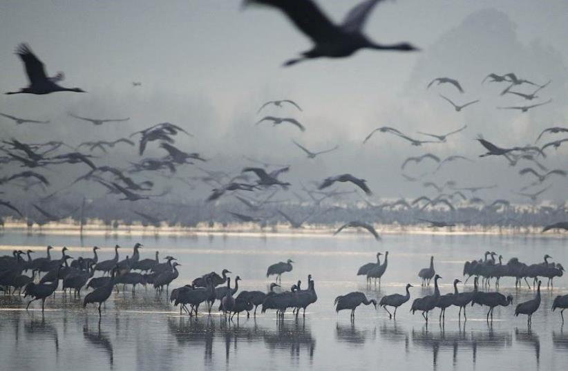 MIGRATING CRANES flock to the Hula Lake Ornithology and Nature Park on Sunday. (photo credit: REUTERS)