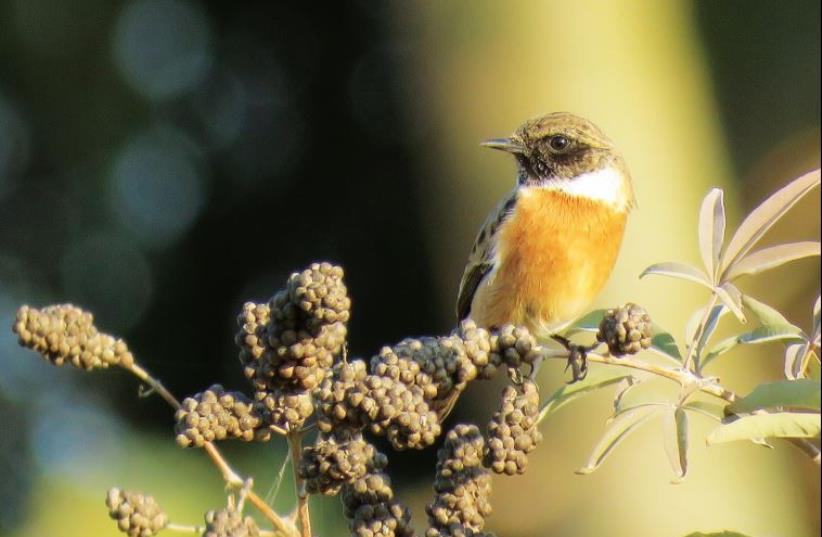 Songbird (photo credit: TALI NOY MEIR)