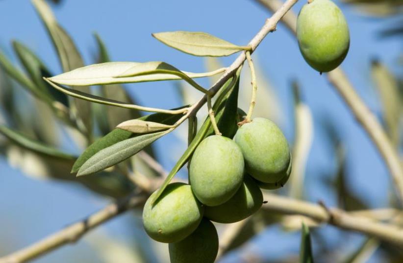 Olive tree (photo credit: ING IMAGE/ASAP)