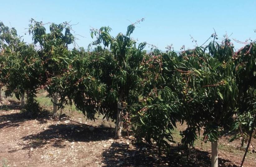 The 100-year-old mango grove (photo credit: DAVID BRINN)