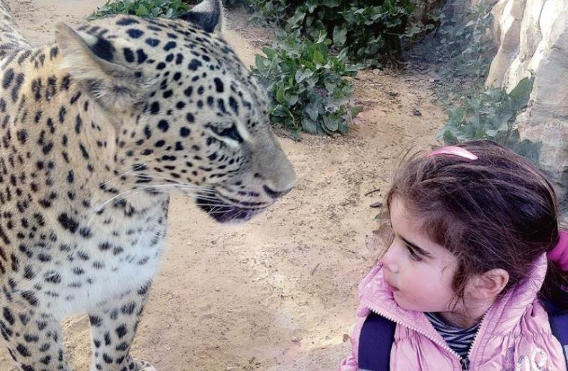 Gazing into the eyes of a jungle cat at the Jerusalem Biblical Zoo (photo credit: DVORA TANZI MALUL)