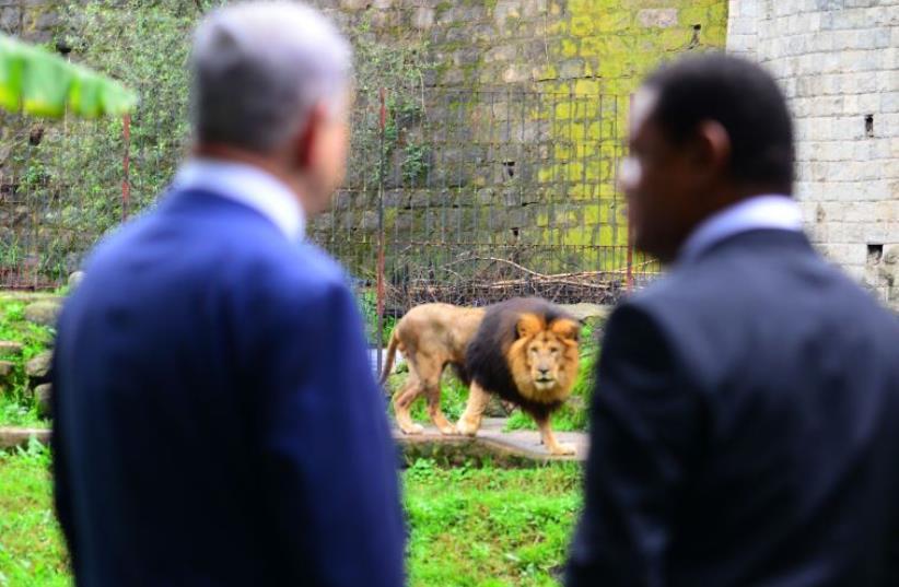 Prime Minister Benjamin Netanyahu views lion during visit to Ethiopia (photo credit: KOBI GIDON / GPO)