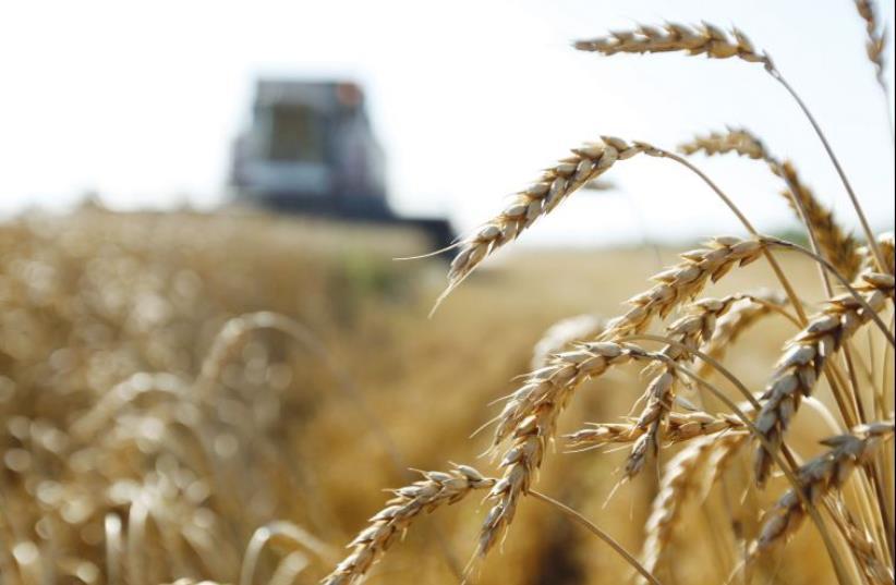 Durum wheat (illustrative) (photo credit: ILLUSTRATIVE/STEFANO RELLANDINI/REUTERS)