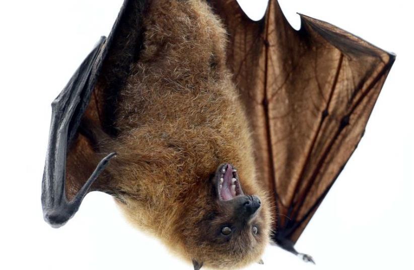 A Rodrigue fruit bat hangs on a perch (photo credit: REUTERS)