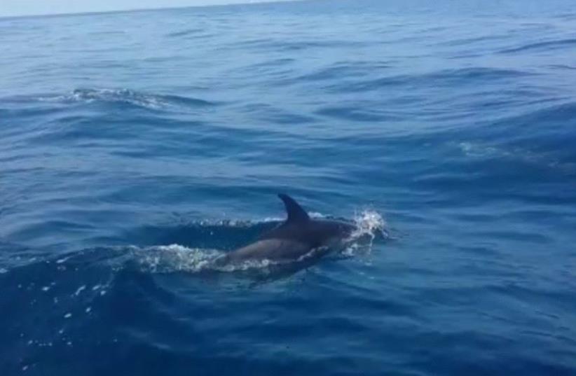 Dolphins swimming near Maritime Border Police patrol  (photo credit: screenshot)