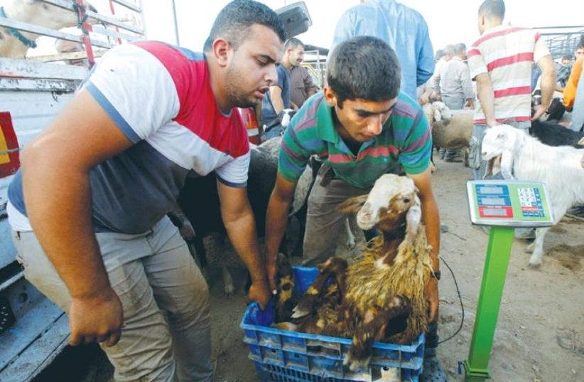 PALESTINIANS WEIGH a goat at a livestock market in Nablus last week, ahead of the Eid al-Adha festival. (photo credit: REUTERS)
