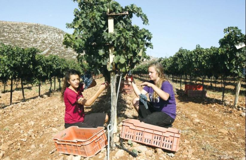 Grape harvest at the Psagot winery (photo credit: MARC ISRAEL SELLEM)