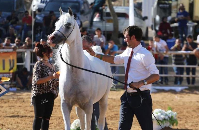 Israeli National Arabian Horse Show at Kibbutz Alonim in northern Israel (photo credit: BAR HAJAJ)