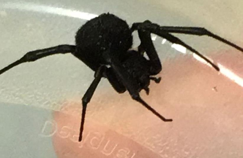 A black widow spider that bit a child in Caesarea (photo credit: HILLEL YAFFE MEDICAL CENTER)