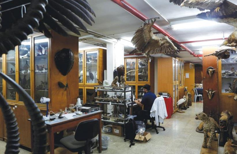 ASAF, A collection manager at the museum, works surrounded by taxidermied animals. (photo credit: REUTERS)