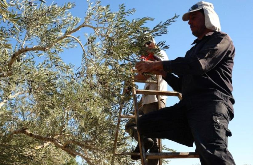 A member of the Ali family stands on a ladder to reach the olives in the uppermost echelons of a tree (photo credit: SHAINA SHEALY)