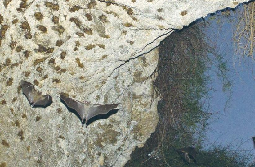 BATS FLY in a cave near Tel Aviv in July 2012. Israeli scientists are researching how the winged mammals communicate to help understand the evolution of human language and possibly pave the way for improved radar and robotic technologies. (photo credit: NIR ELIAS / REUTERS)