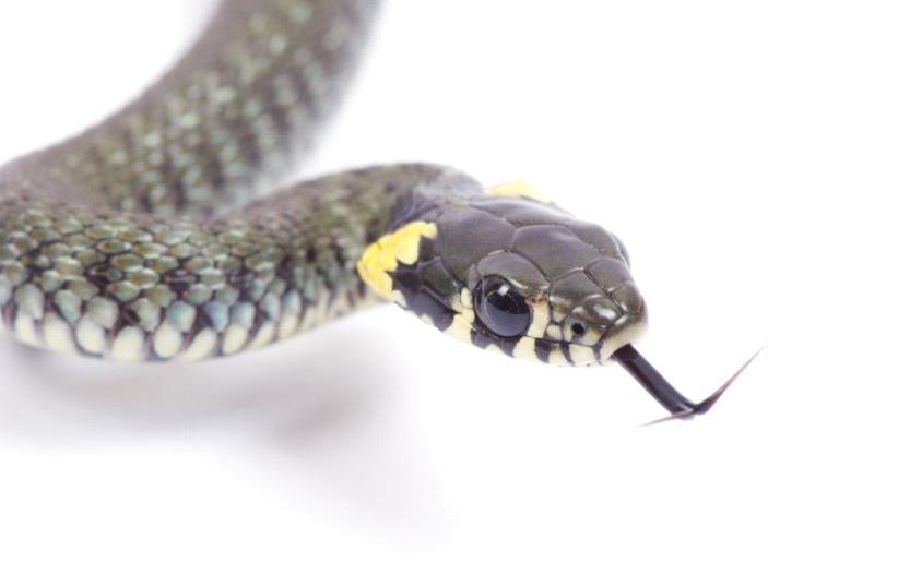 Snake (illustrative) (photo credit: ING IMAGE/ASAP)