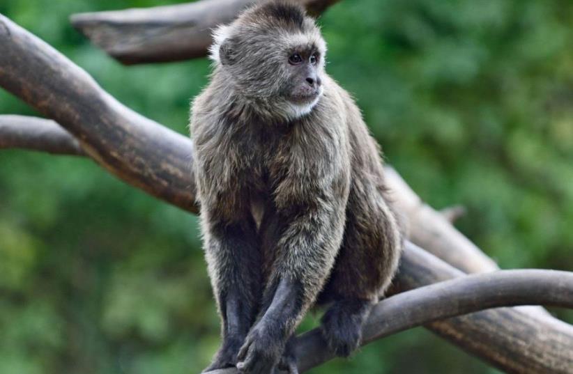 Conner the monkey (photo credit: RAMAT GAN SAFARI)