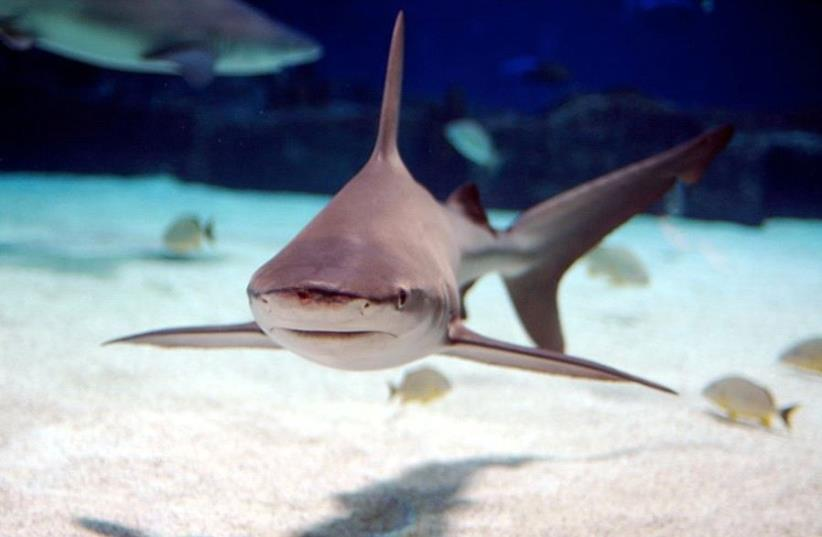 Sandbar shark [Illustrative] (photo credit: WIKIMEDIA COMMONS/JEFF KUBINA)