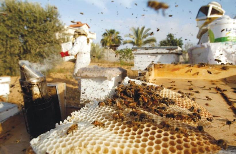 GLOBAL AGRICULTURAL production has taken a hit in recent years due to declining bee populations. (photo credit: REUTERS)