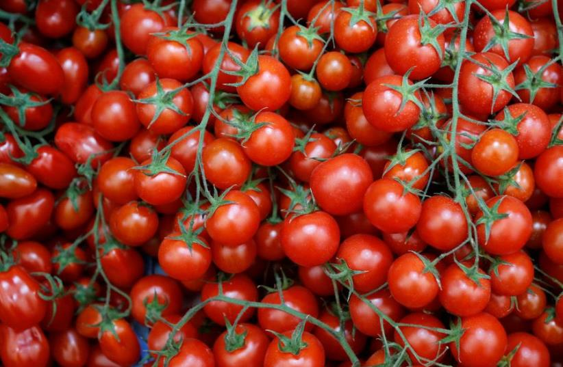 Tomatoes (photo credit: REUTERS)