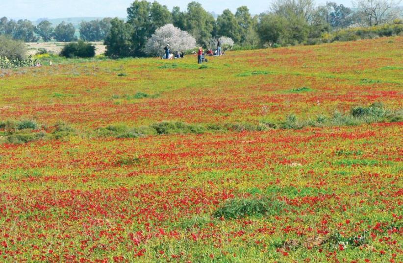 Fields of anemones (photo credit: MATHKNIGHT AND ZACHI EVENOR/CC BY 3.0 VIA WIKIPEDIA)