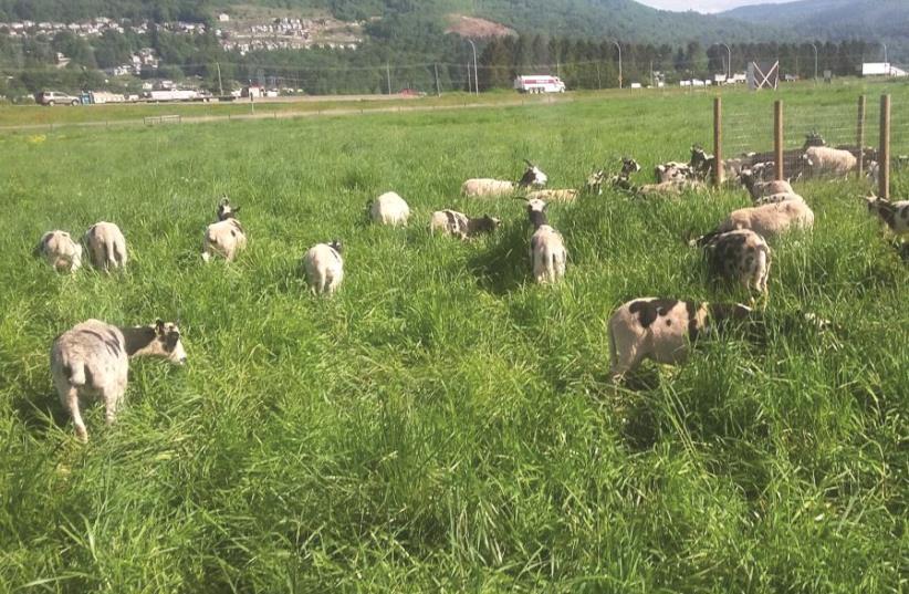 Troupeau de moutons paissant dans les prés (photo credit: GIL LEWINSKY)