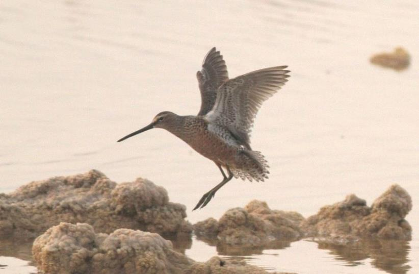 Long-billed dowitcher bird spotted in Eilat (photo credit: JONATHAN MEIRAV / SPNI)