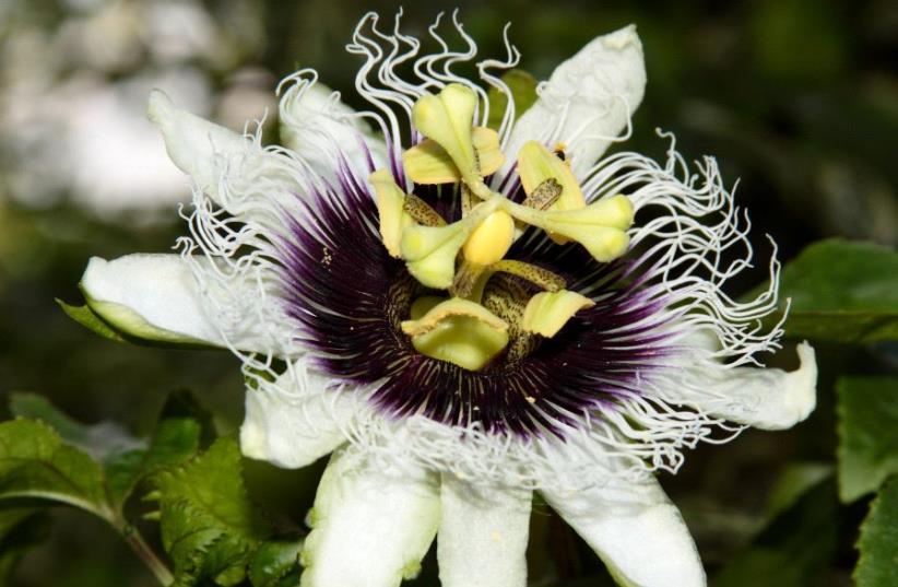 Une fleur de passiflore (photo credit: FLASH90)