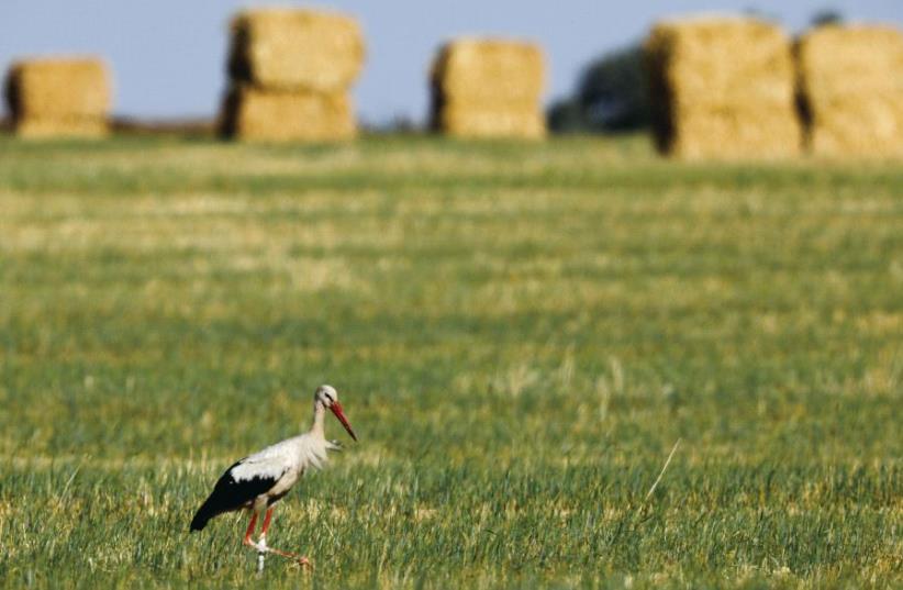 A stork walks in a field near Kibbutz Nir Yitzhak in the South last month (photo credit: REUTERS)