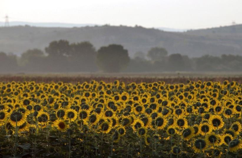 A sunflower field  (photo credit: REUTERS)