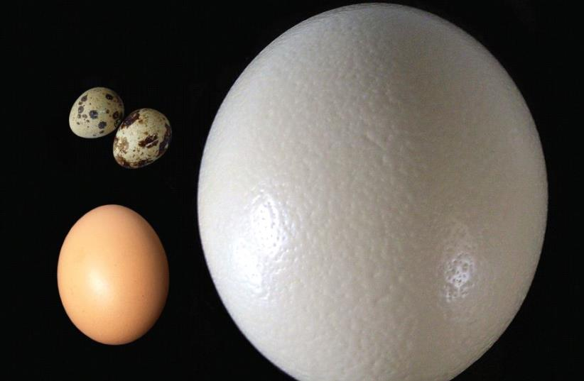 BIRDS TEND to lay more asymmetric and more elliptical eggs if they are better fliers. Size aside, can you guess which of these came from a quail, a chicken and an ostrich (photo credit: Wikimedia Commons)