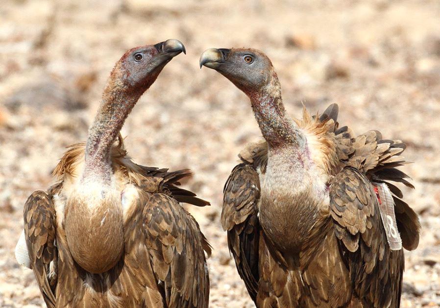 Israeli Vultures / YORAM SHAPIR