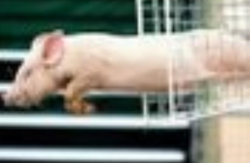 Leaping Pig 88 ap (photo credit: AP [file])