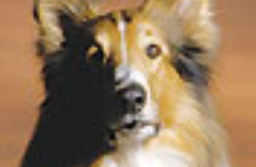 Lassie 88 (photo credit: Courtesy)