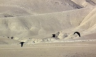 Three juvenile northern bald ibis birds fitted with solar satellite transmitters fly in the desert at Wadi Abiat