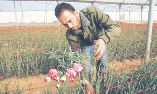 Gazan farmer collects carnations near Rafah