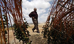A Palestinian date farmer (Illustrative)