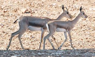 Gazelles roam in Beit Nekofa