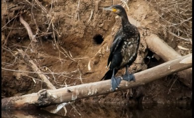 Bird sits on the banks of the Hayarkon (Flavio Grynszpan)