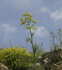 Yellow fennel (Thinkstock/imagebank)
