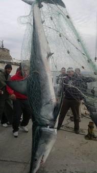 Half-ton shark caught in Acre (www.sonara.net)